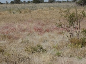 The splendor of the Central Kalahari's dry vegetation,  Click on the image to enlarge.